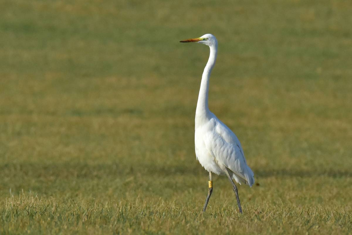 Silberreiher great egret ardea alba wildlife